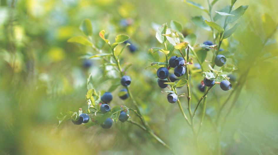 Bilberries grow solitary or opposite
